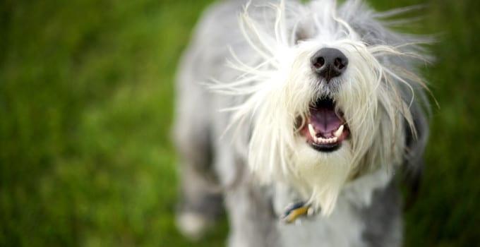 Hund häufiges Bellen abgewöhnen