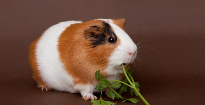 Ernährung Meerschweinchen