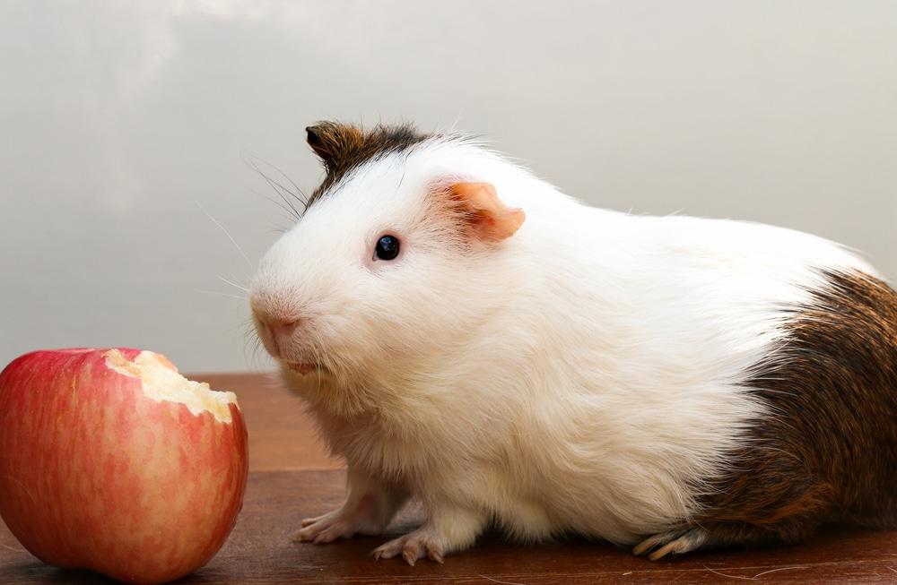 Meerschweinchen Saftfutter / Obst + Gemüse