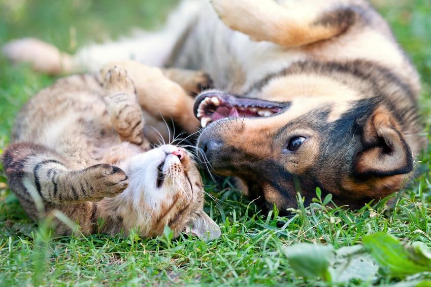 Hund jagt die Katze