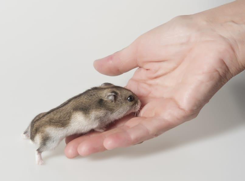 Ein wichtiger Moment bei der Eingewöhnung eines Hamsters ist das erste Erkunden der Hand des Menschen