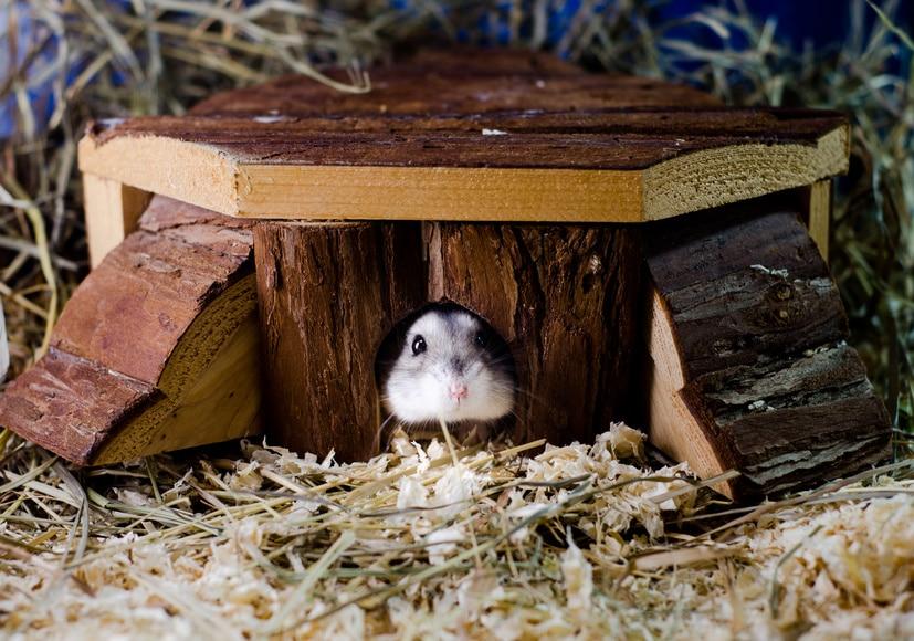 Neuen Hamster eingewöhnen